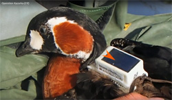 "The ""Operation Kazarka"" movie revealingthe expedition of Russian and Belgian bird-banding centers to Yamal tundra for Red-breasted geese investigation and transmitters-tagging"
