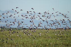 Study of summer-autumn migration of sandpipers, including spoon-billed sandpiper in Kamchatka