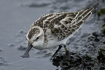 Spoon-billed Sandpiper – conservation of the flagship species of East-Asian Flyway in Russia